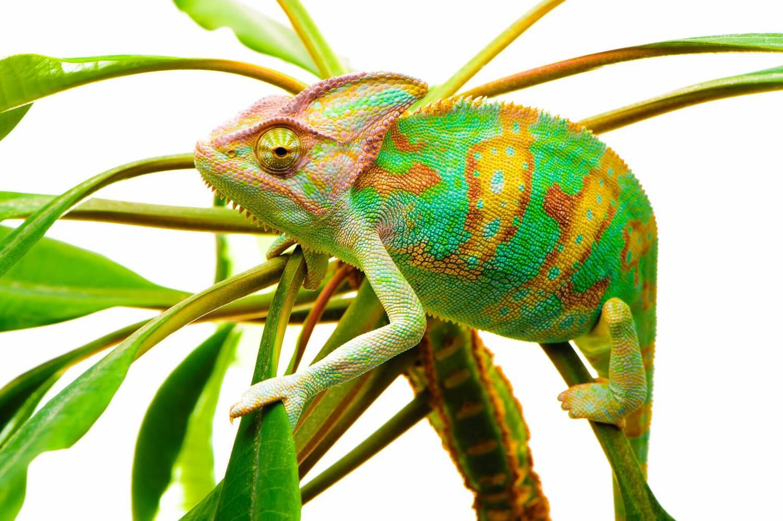 Adopt A Chameleon