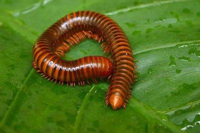 Adopt A Centipede
