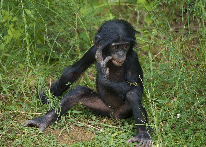 Adopt A Bonobo
