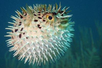 Adopt A Blowfish