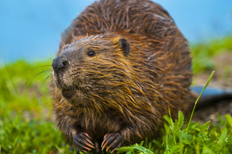 Adopt A Beaver