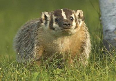 Adopt A Badger