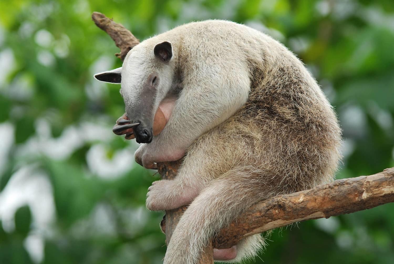 Adopt An Anteater