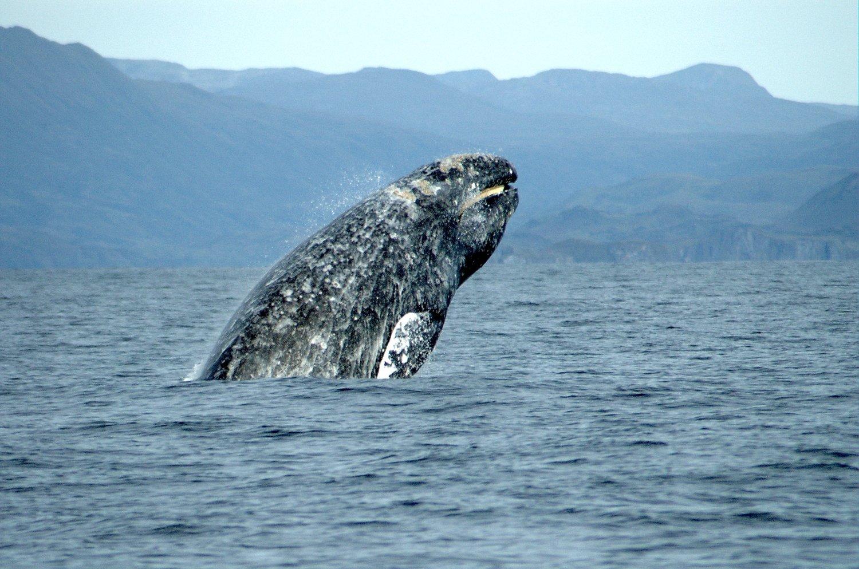 Adopt A Gray Whale