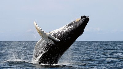 Adopt A Humpback Whale