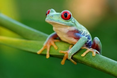Adopt A Tree Frog