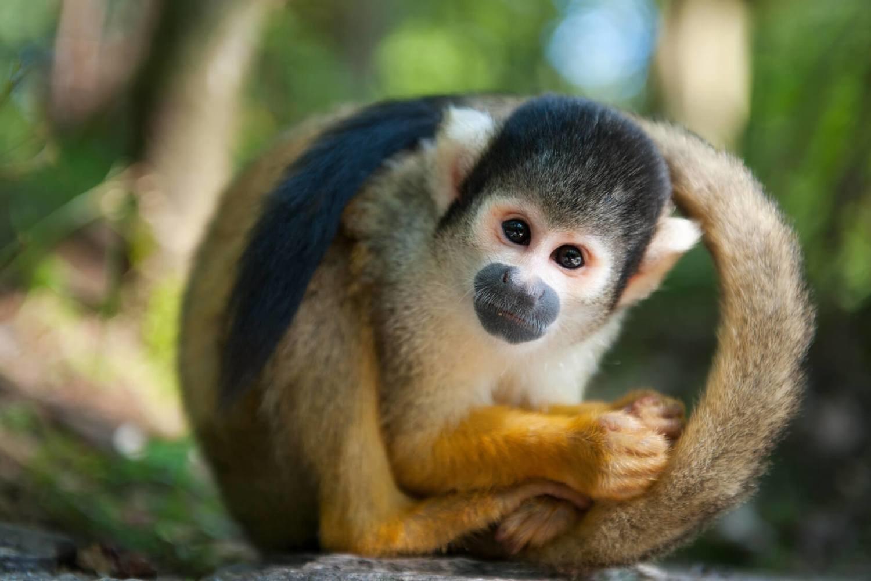 Adopt A Squirrel Monkey