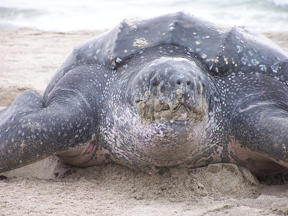 Adopt A Leatherback Sea Turtle