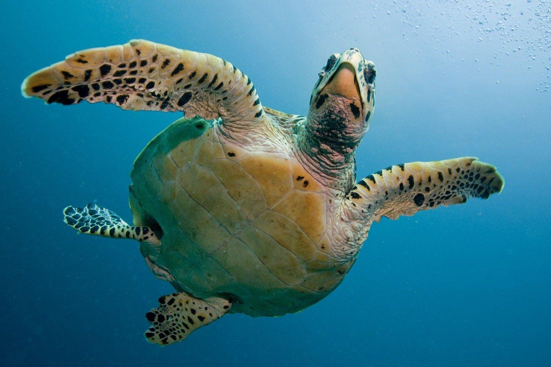 Adopt A Hawksbill Sea Turtle
