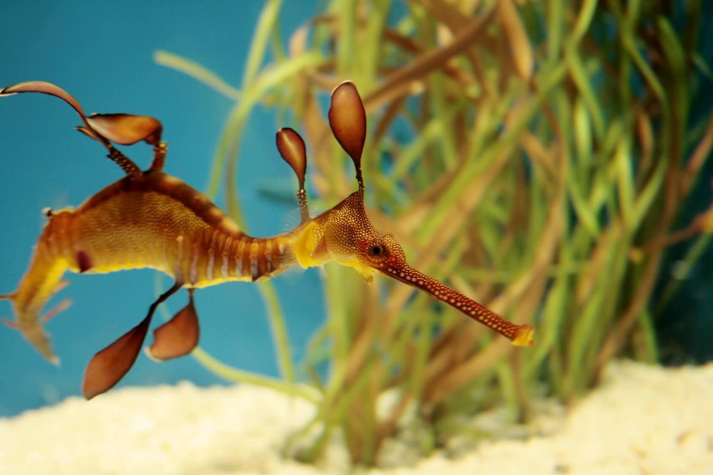Adopt A Seadragon