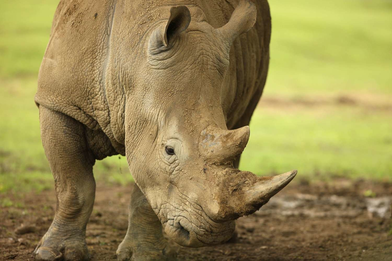 Adopt A Rhinoceros