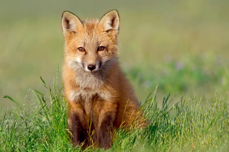 Adopt A Red Fox
