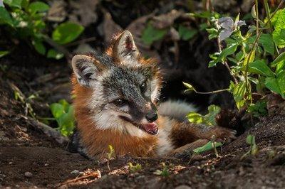 Adopt A Gray Fox