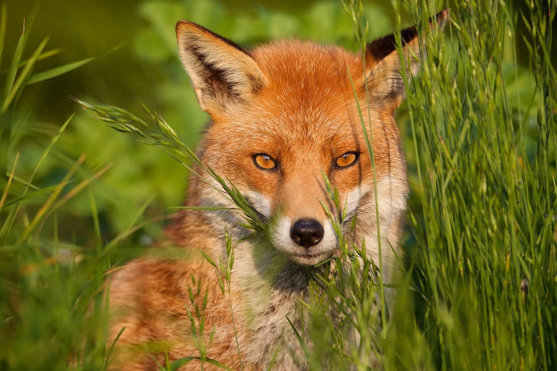 Adopt A Fox