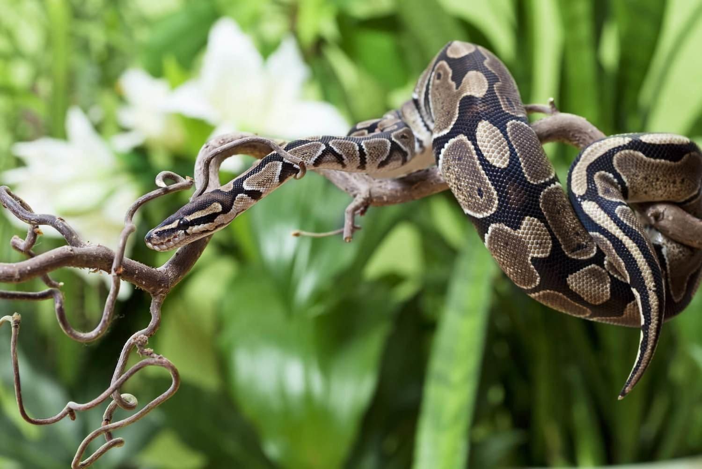 Adopt A Python
