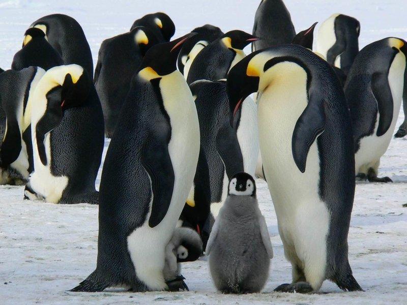 Adopt An Emperor Penguin