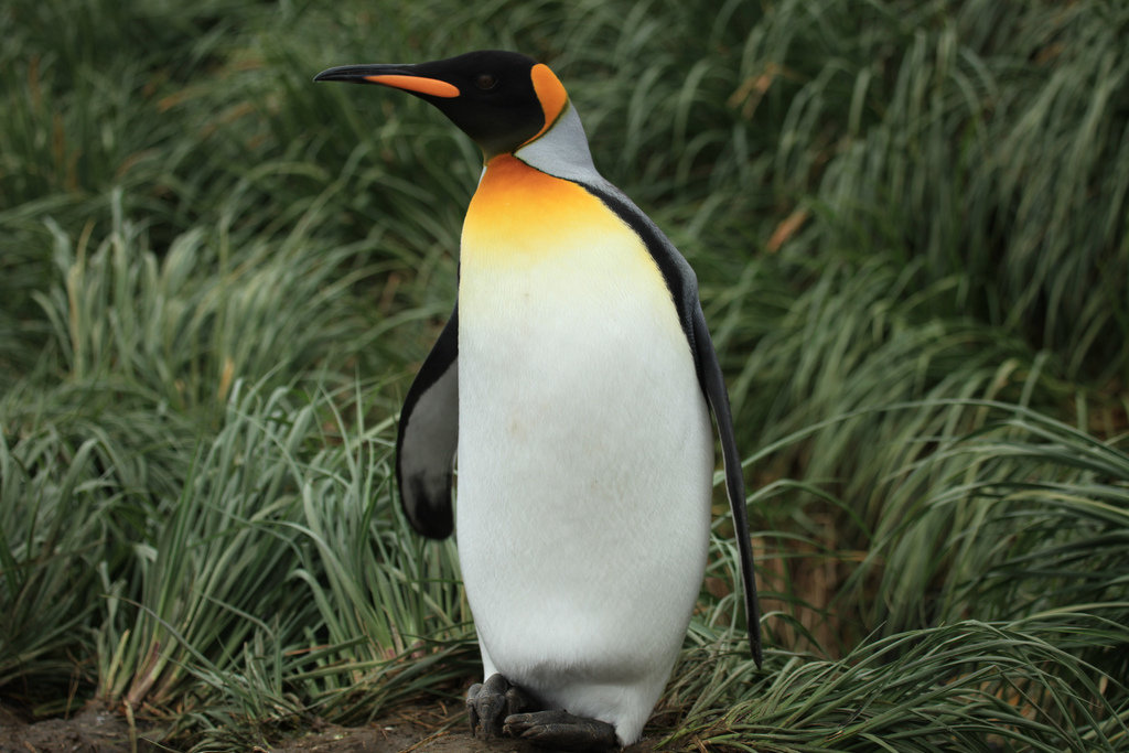 Adopt A King Penguin