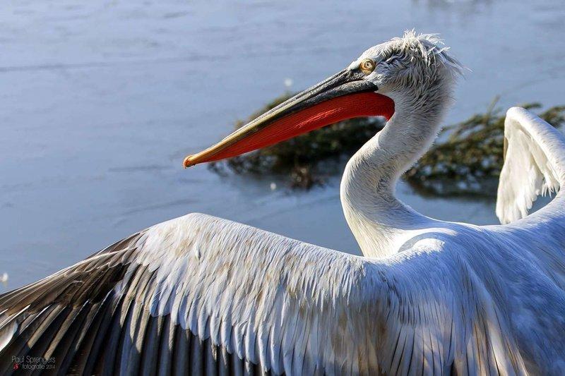 Adopt A Pelican