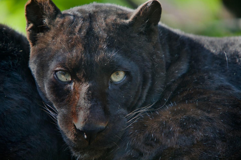 Adopt A Black Panther