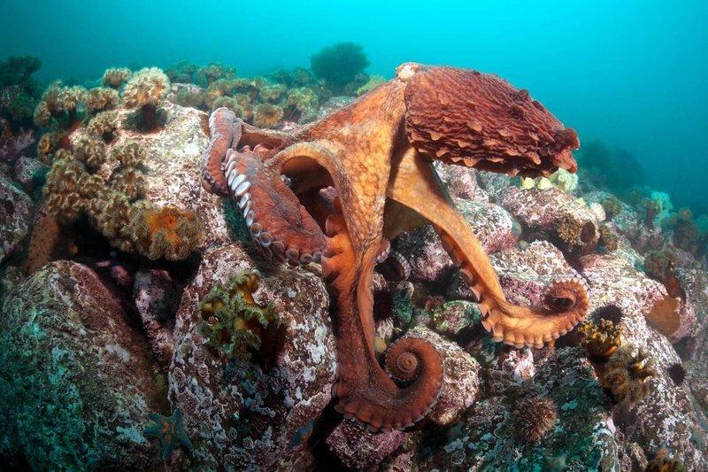 Adopt An Octopus