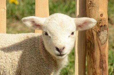 Adopt A Lamb