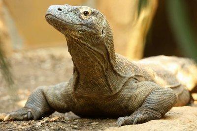 Adopt A Komodo Dragon