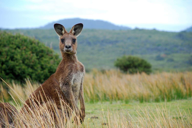 Adopt A Kangaroo