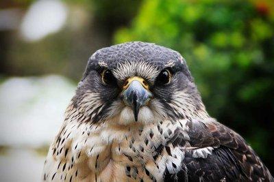 Adopt A Hawk