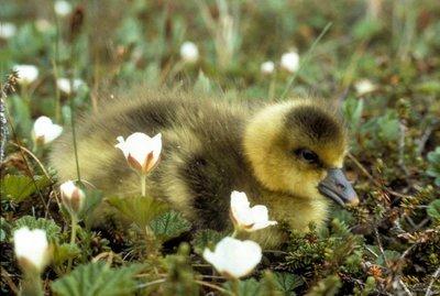 Adopt A Goose
