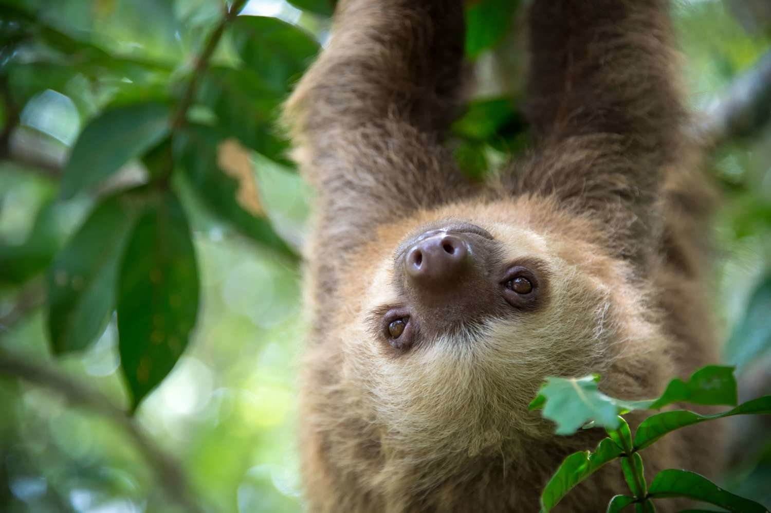 Adopt A Two-Toed Sloth