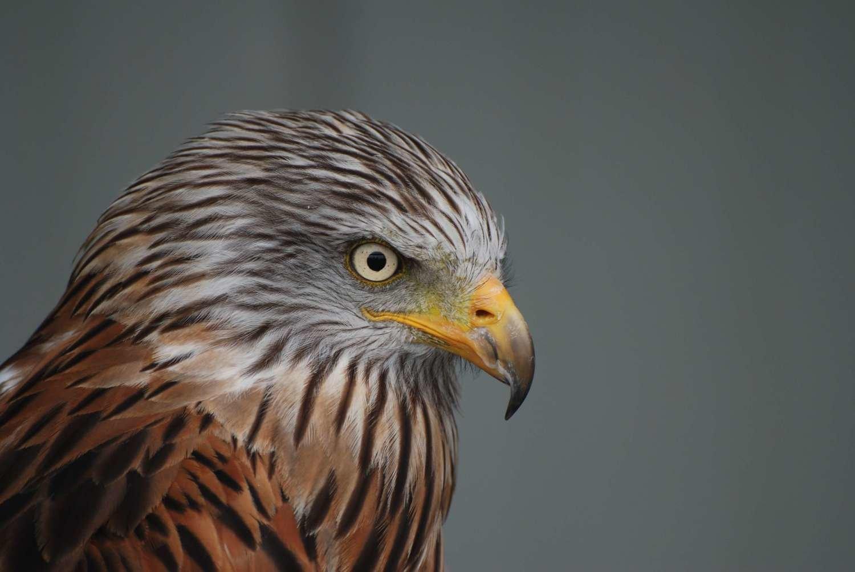 Adopt A Falcon