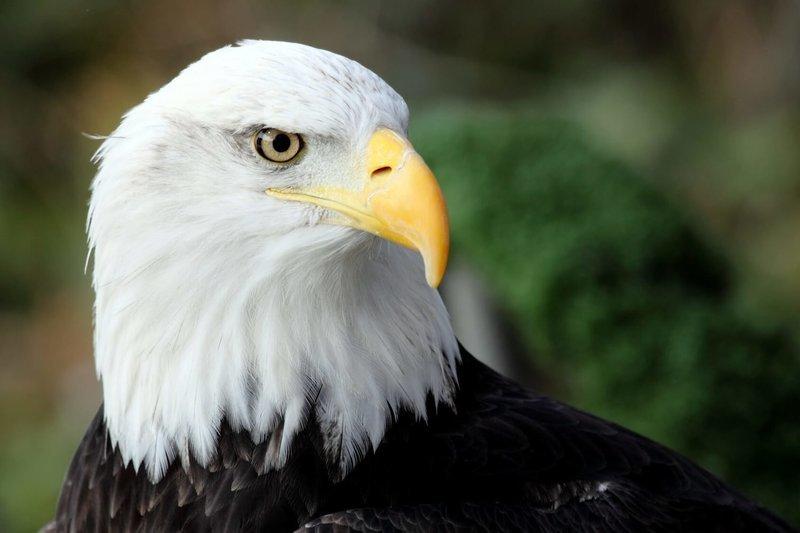 Adopt An Eagle