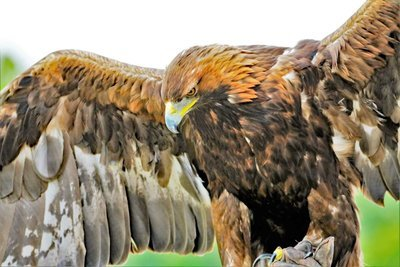 Adopt A Golden Eagle