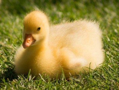Adopt A Duck