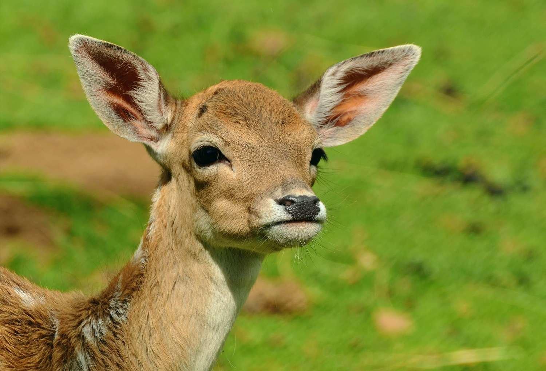 Adopt A Deer