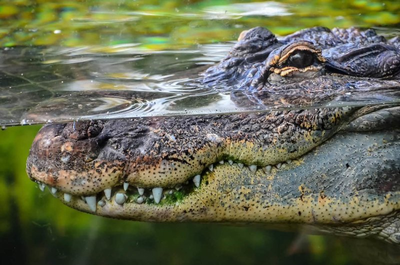 Adopt A Crocodile