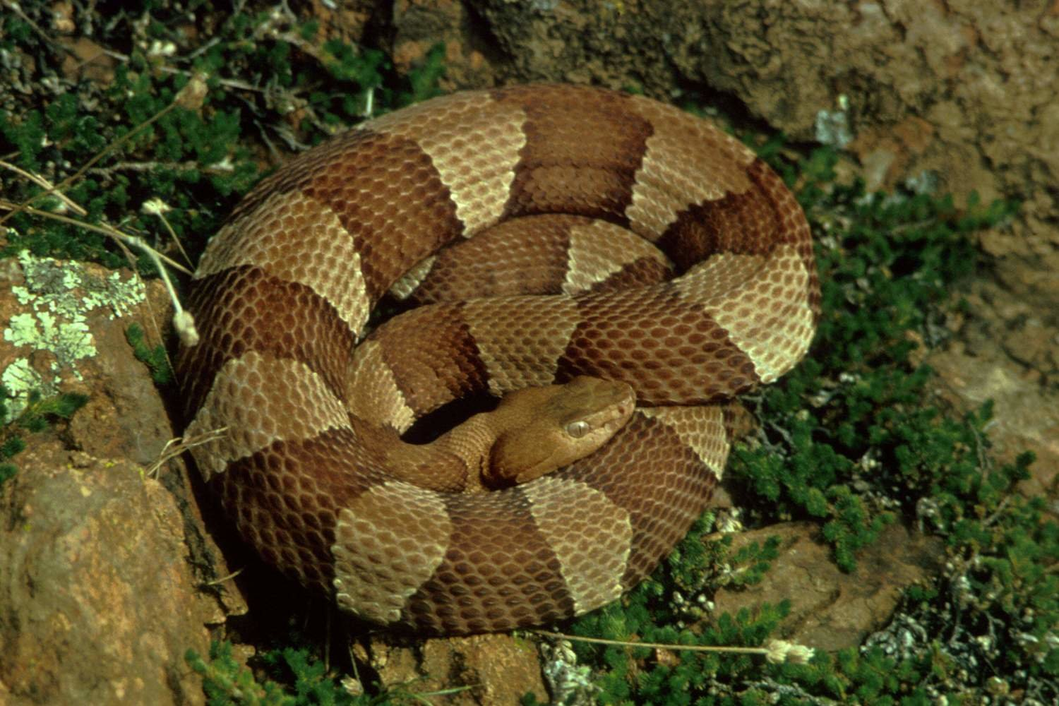 Adopt A Copperhead Snake