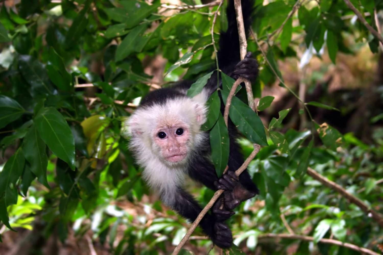 Adopt A Capuchin