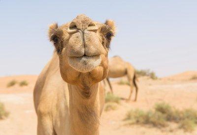 Adopt A Camel