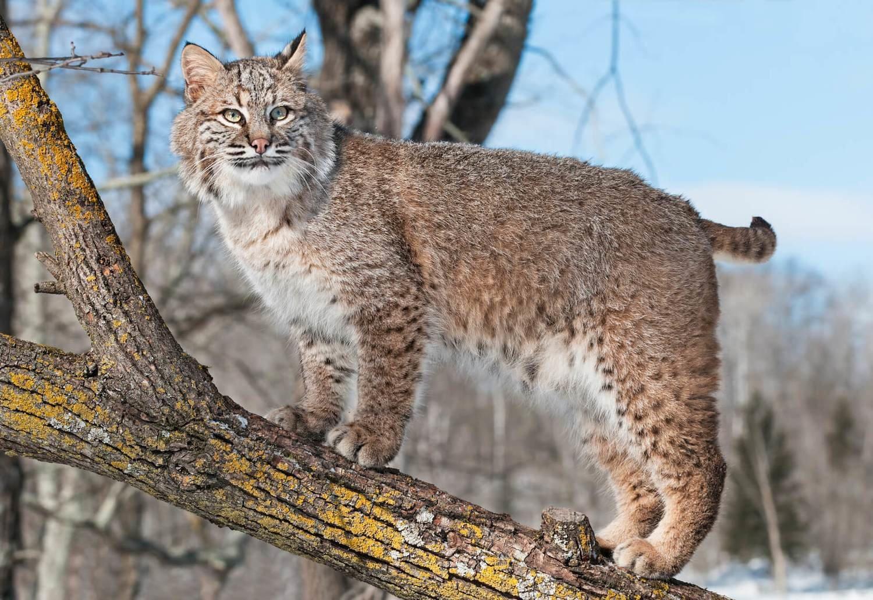 Adopt A Bobcat