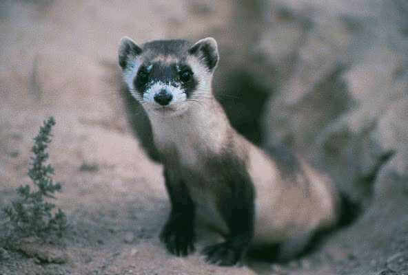 Adopt A Black-Footed Ferret