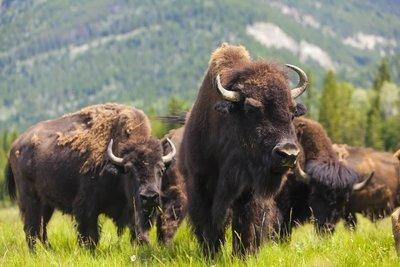 Adopt A Bison