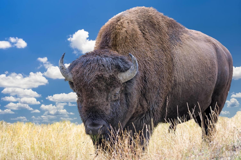 Adopt A Buffalo