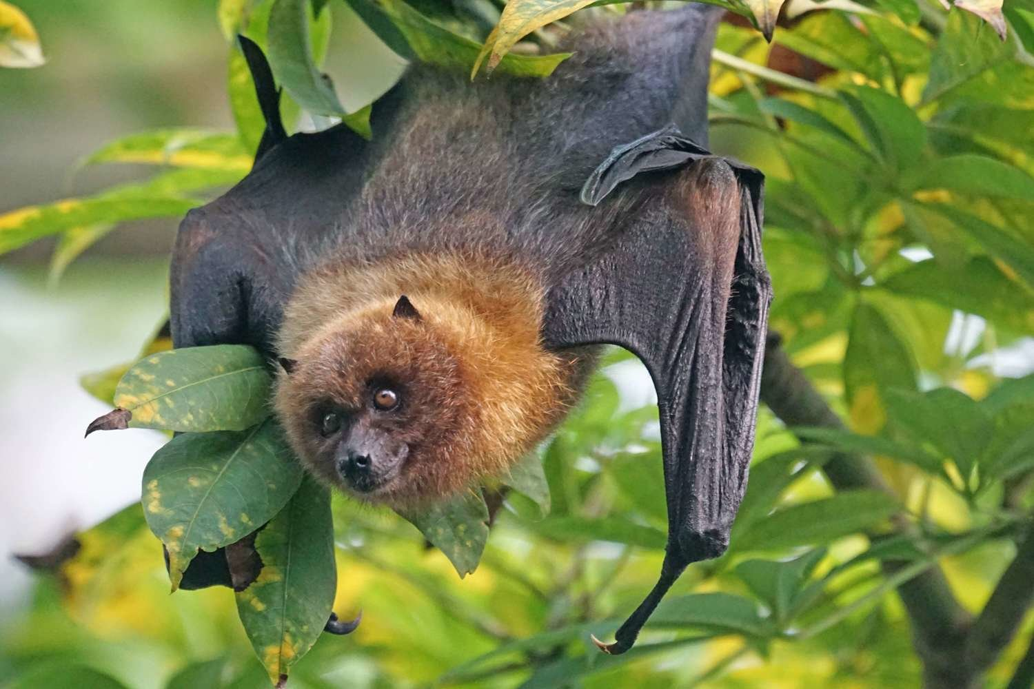 Adopt A Fruit Bat