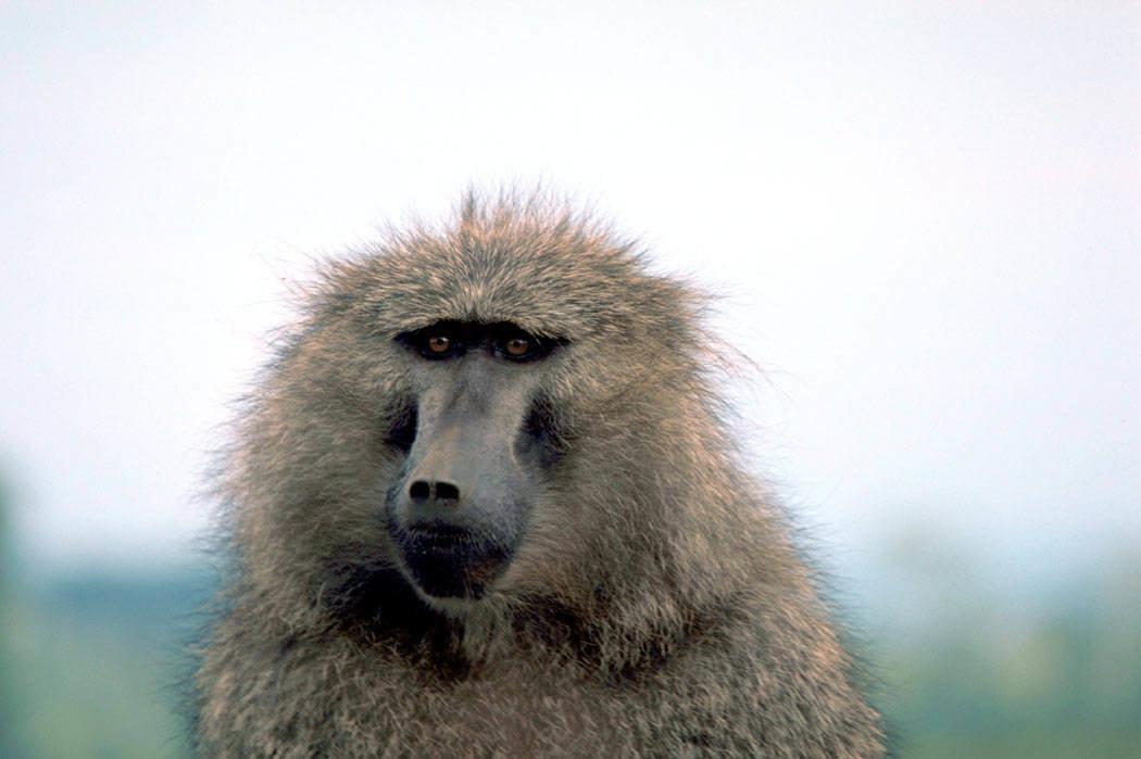 Adopt A Baboon