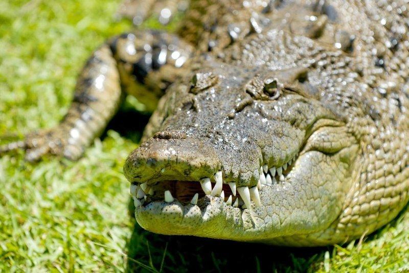 Adopt An Alligator