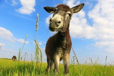 Adopt A Mule