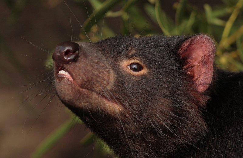 Adopt A Tasmanian Devil