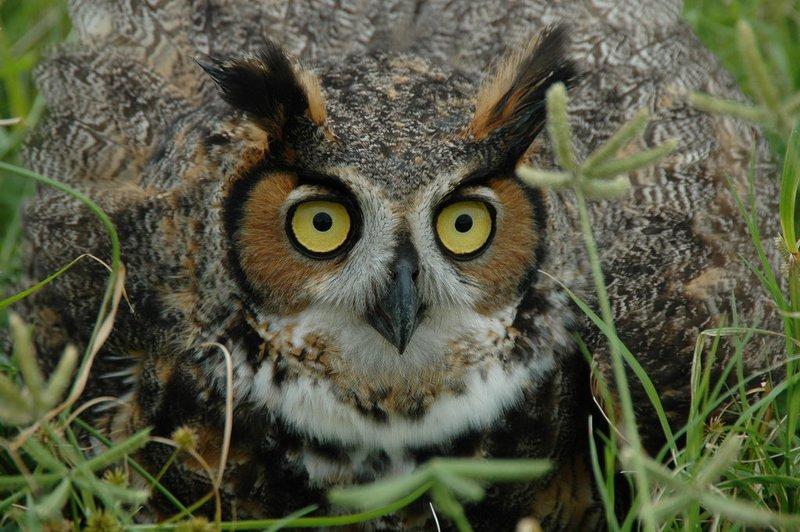 Adopt A Hoot Owl
