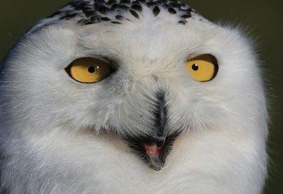 Adopt A Snowy Owl